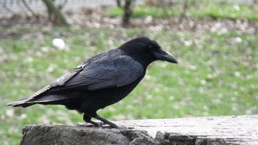 What Is the Life Span of a Black Crow?