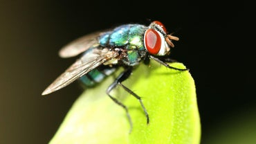 What Is the Life Span of a House Fly?