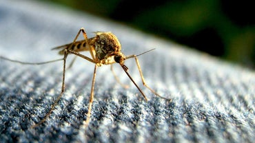 What Is the Life Span of a Mosquito?