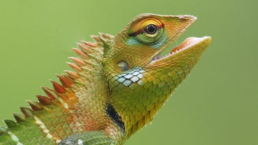 What Are the Life Stages of a Lizard?
