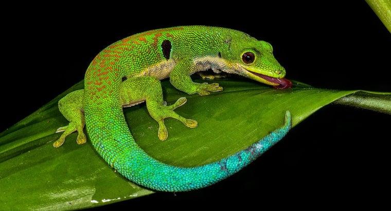 lifespan-lizard