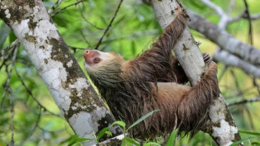 What Is the Lifespan of a Sloth?