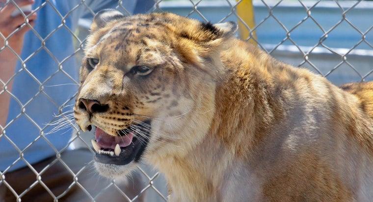 ligers-live