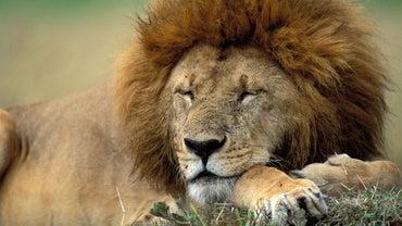 What Is a Lion's Natural Habitat?