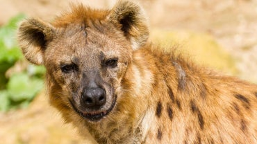 Do Lions Eat Hyenas?