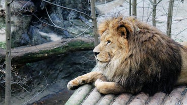 Why Are Lions Endangered?
