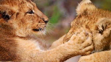 Why Do Lions Have Forepaws Equipped With Long Retractable Claws?