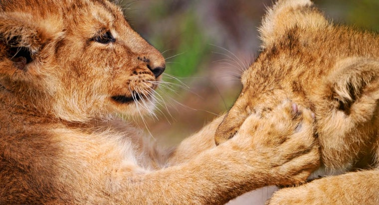 lions-forepaws-equipped-long-retractable-claws