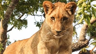 How Do Lions Hunt?