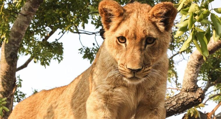 lions-hunt