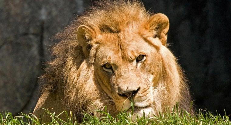 lions-live-caves