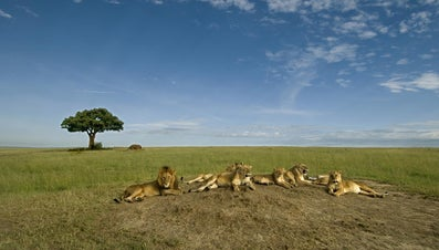 Do Lions Really Dominate African Wildlife?