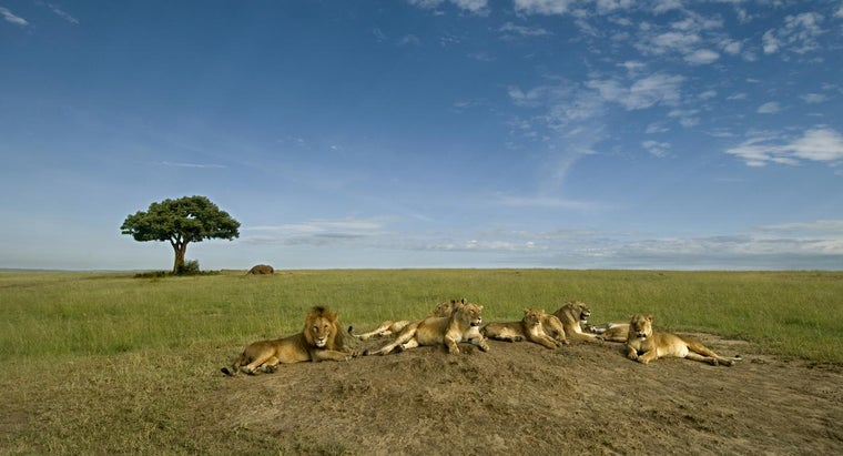 lions-really-dominate-african-wildlife
