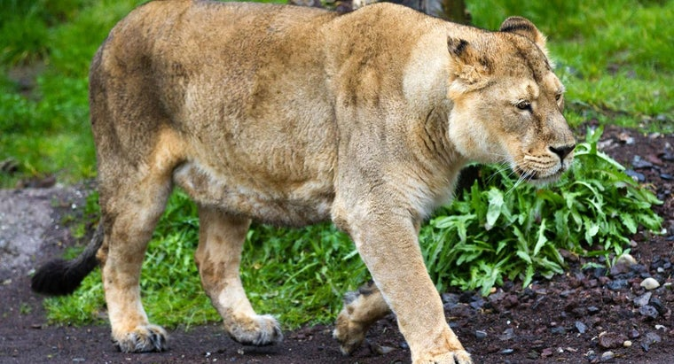 lions-walk