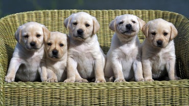 What Is the Litter Size of a Labrador Retriever?