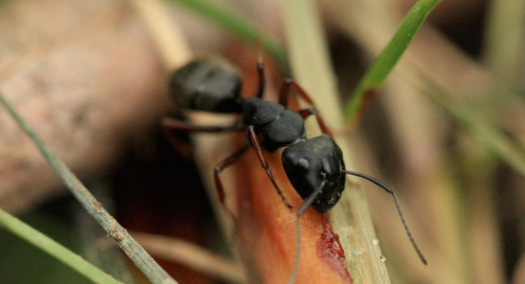 little-black-ants-called