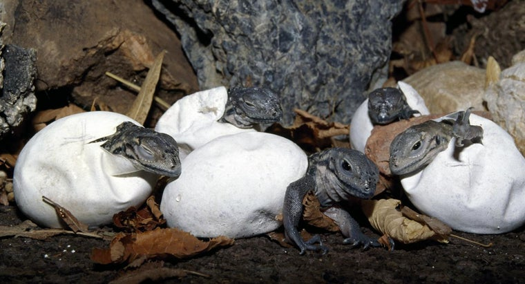 lizard-lay-eggs