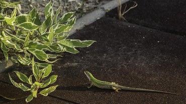 How Do Lizards Mate?