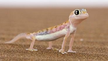 How Do Lizards Move?