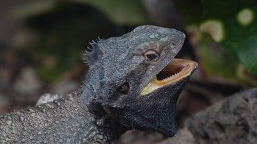 Do Lizards Have Teeth?