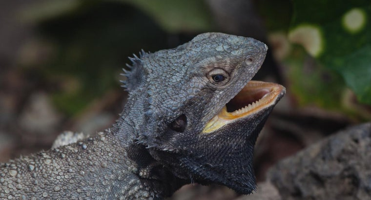lizards-teeth