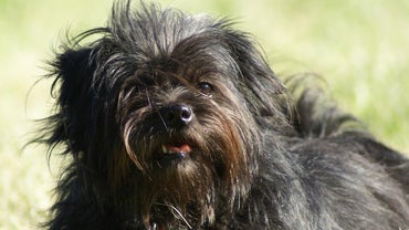 How Do You Find Local Breeders of Maltese Shih Tzu Puppies?