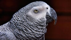 How Long Does an African Grey Parrot Live?