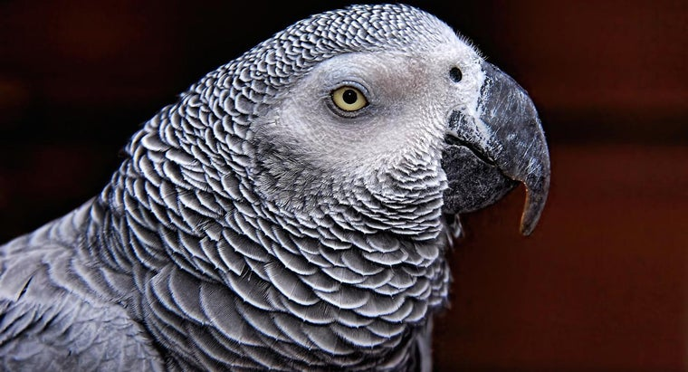 long-african-grey-parrot-live