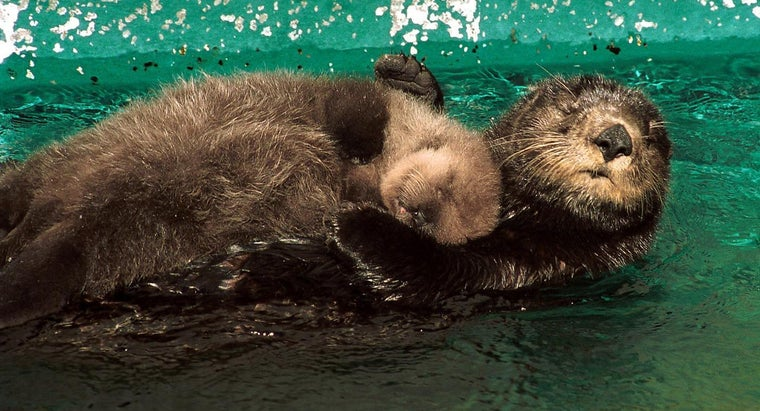 long-baby-otters-stay-mothers