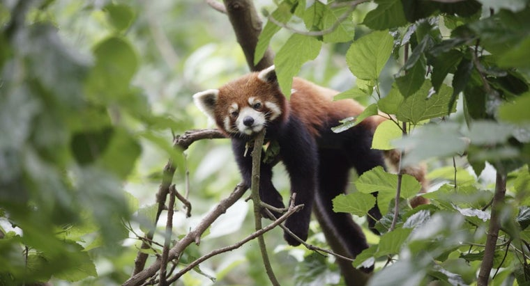 long-baby-red-panda-stay-s-mother