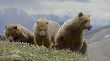 How Long Do Bears Live?