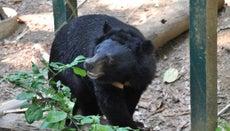 How Long Does a Black Bear Live?