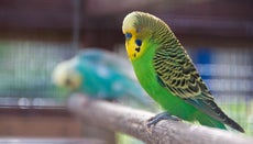 How Long Do Budgies Live?