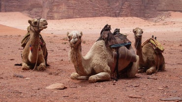 How Long Do Camels Live?