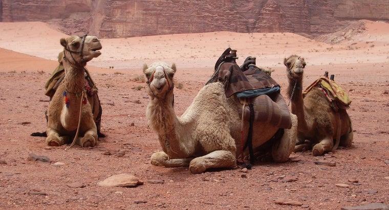 long-camels-live
