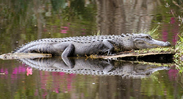 long-can-alligator-stay-underwater