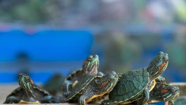 How Long Can Red-Eared Sliders Stay Underwater?
