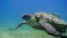 How Long Can Turtles Stay Underwater?
