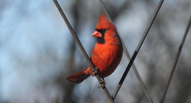 long-cardinals-live