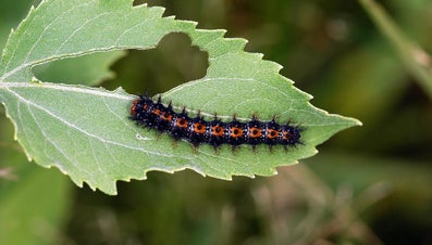 How Long Does a Caterpillar Stay in a Cocoon?