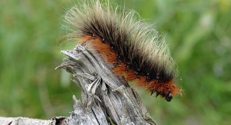long-caterpillars-live