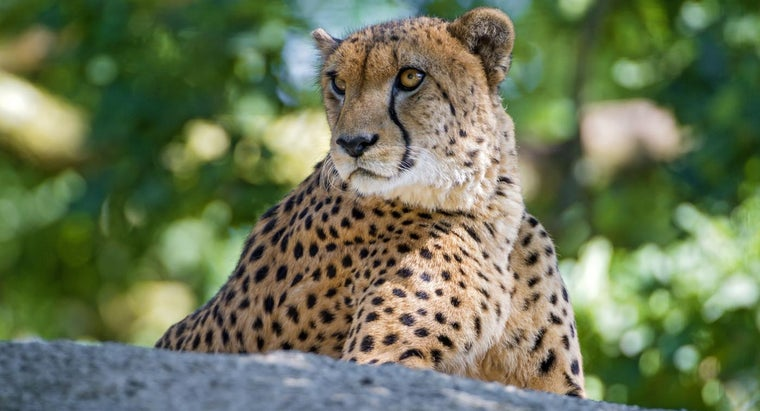 long-cheetah-live