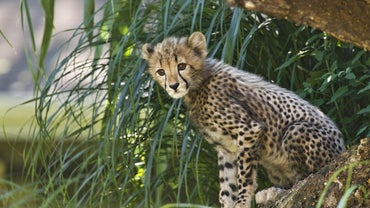 How Long Do Cheetahs Live?
