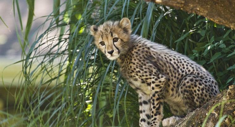 long-cheetahs-live