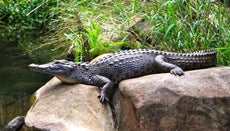 How Long Do Crocodiles Live?