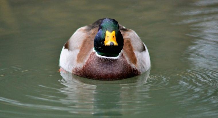 long-ducks-live