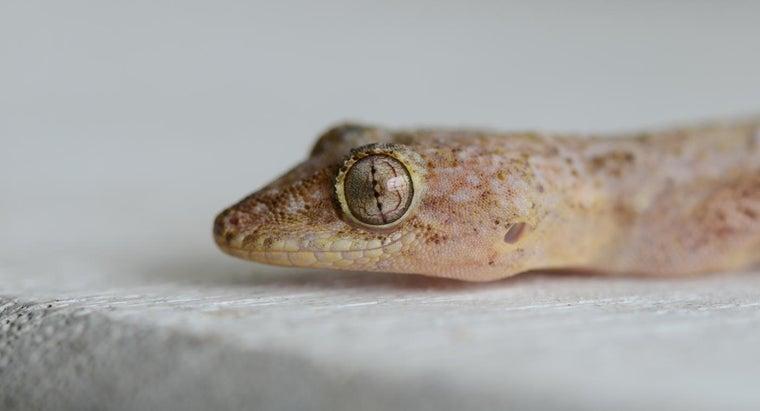long-geckos-live
