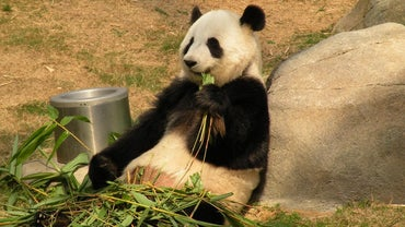 How Long Do Giant Pandas Live?