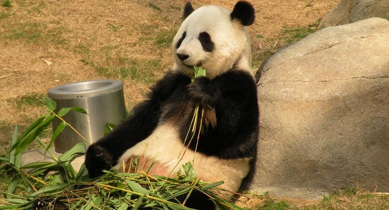 long-giant-pandas-live