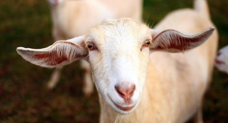 long-goats-live
